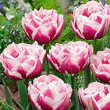 100Pcs Variety Tulip Seeds Beautiful Flower Floral