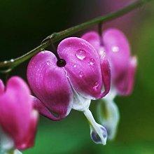 10Pcs Perennial Herbs Dicentra Spectabilis Flower
