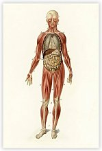 'Anatomical Illustration of A Male' by