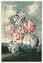 'Group of Carnations' by R.J. Thornton -