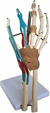 ALBB Anatomical Hand Wrist Joint Model Include