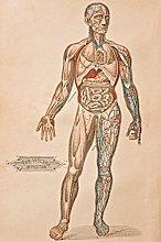 Antique Medical Illustration Viscera Human Body