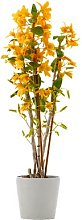 Bamboo Orchid Plants Live Orange Flowers |