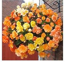 Begonia Apricot Shades 20 Garden Ready Plants