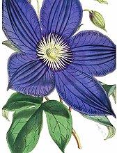 Big Purple Clematis Flower Art Print Canvas