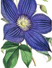 Big Purple Clematis Flower Large Wall Art Print