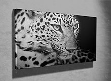 Black and White Leopard Nature Wildlife photo