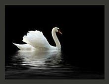 Black and White Swan 2.7m x 350cm Wallpaper East
