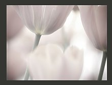 Black and White Tulips Fine Art 1.54m x 200cm