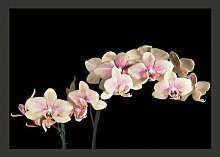 Blooming Orchids on a Dark Background 1.93m x