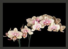 Blooming Orchids on a Dark Background 2.7m x 350cm