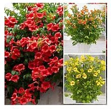 Campsis Summer Jazz Collection 3 Plants