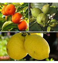 Citrus Grove Collection 3 X 9Cm Plants