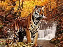 DIY 5D Diamond Painting Kits Forest Tiger Full