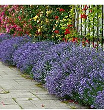English Lavendar 'Munstead' X 12 Plug