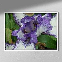 Flag Iris - Close Up Flower Photography   Flower
