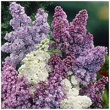 Fragrant French Lilac Plants Collection 3X9Cm