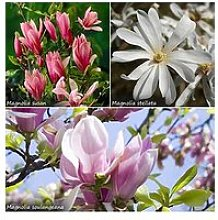 Fragrant Magnolia Collection 3X 9Cm Potted Plants