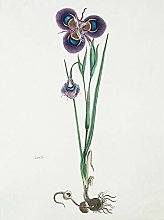 Gordon Cape Tulip Purple And Green Drawing Art