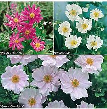 Hardy Japanese Anemone Collection 3 X 9Cm Potted