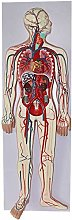 Human Anatomy - Human Blood Circulatory System
