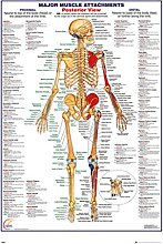 Human Body Major Muscle Attachments Posterior