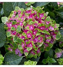Hydrangea 'Glam Rock' 2 X 14Cm Potted