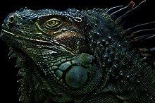 Iguana Reptile Face Portrait Artistic Photo Cool