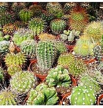 Indoor Cactus Mix 6 Types In 5.5Cm Pots