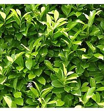 Laurel Hedging Plants 9Cm Pot - 25 Plants
