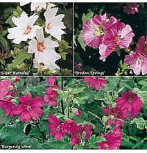 Lavatera Hardy Mallow Collection 3 X 9Cm Potted
