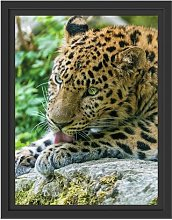 Leopard Cleaning Itself Framed Photographic Art