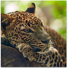 Lounging Leopard Photographic Art Print on Canvas