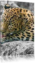 Magnificent Leopard Grooming Art Print on Canvas