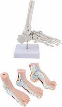 Milageto 1:1 Anatomy Human Foot Normal, Flat,