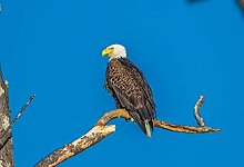 NHJC Paintings on Canvas,Bald Eagle,Canvas Wall