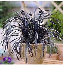 Ophiopogon Black Dragon Grass