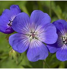 Pair Of Hardy Geranium 'Rozanne' 2L Potted
