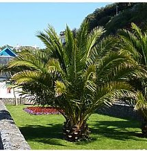 Pair Of Hardy Phoenix Palm Trees 80-100Cm Tall