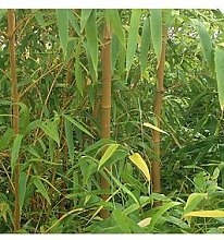 Pair Of Yellow Bamboo Plants 1M Tall