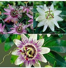 Passion Flower Collection 3 X 9Cm Potted Plants