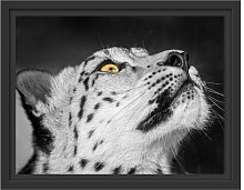 Prowling Snow Leopard Framed Photographic Art