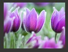 Purple Tulips in Spring 1.93m x 250cm Wallpaper