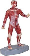 QIQIZHANG Anatomy Model, Human Muscle Model, Human