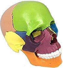 QIQIZHANG Anatomy Model, Human Skull Model,