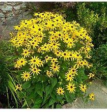 Rudbeckia Goldsturm 3 X9Cm Plants