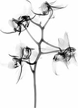 Schwartz NJIT Orchid Flower Transparent Greyscale