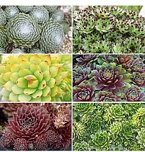 Sempervivum (Succulent) Collection Set Of 12 Plug