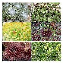 Sempervivum (Succulent) Collection Set Of 12 Plug