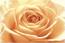 Sweet Orange Rose 2.25m x 3.36m Embossed Matte